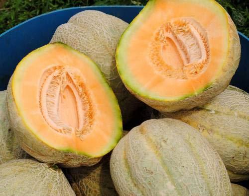 Shopvise Warzenmelonensamen(10proPäckchen)