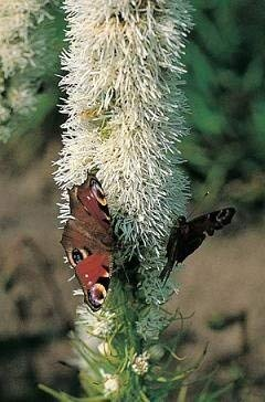 25 Samen von Floristan Weiß 3507 (Prachtscharte)