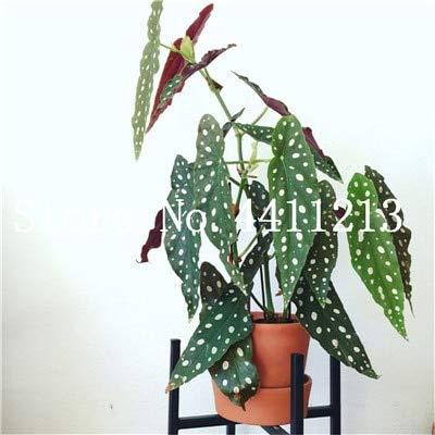 prime vista 50 Stücke Seltene Exotische Farbe Begonie, Begonie Bonsai Blume Indoor Topfpflanzen für Hausgarten Balkon Coleus Bonsai: 15