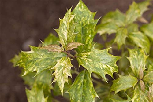 Stachelblättrige Duftblüte Osmanthus heterophyllus 'Tricolor' im Topf gewachsen ca. 30-40cm