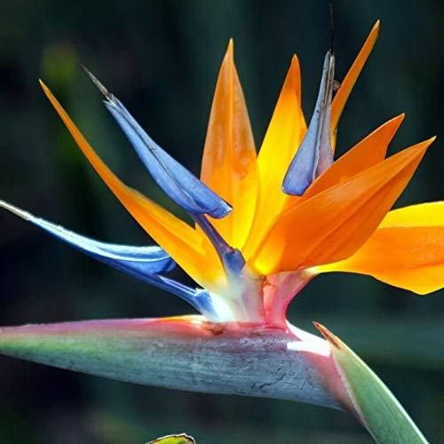 Oce180anYLVUK Strelitzia Seeds, 100 Stück Beutel Strelitzia Seeds Gut Aussehende DIY Farbe Reginae Topfpflanze Blumensamen Für Zu Hause Paradiesvogel Samen