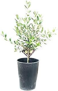オリーブの木 鉢植え 観葉植物 本物 SOUJU 創樹 マーブル鉢カバー付き ガーデニング インテリア ミニ 卓上