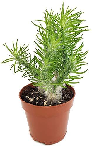 Fangblatt - Opuntia Vestita - Austrocylindropuntia erstaunliche und seltene Sukkulente - pflegeleichte Zimmerpflanze