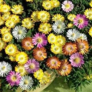 Ice Plant Mixed Color 1000 Seeds Mesembryanthemum AOND-317