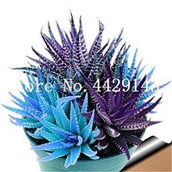 Rare Spirale Nuova piantina Aloe Piante grasse Bonsai, Polyphylla Rotazione Aloe Vera Regina delle Piante, 100 Pz Bonsai Piante Facile da Coltivare: 4