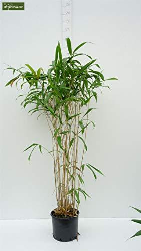 Pseudosasa japonica - Japanischer Pfeilbambus - verschiedene Größen (150+cm - Topf 5Ltr.)