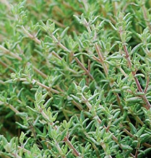Thyme Orange Thymus fragrantissimus 250 Seeds