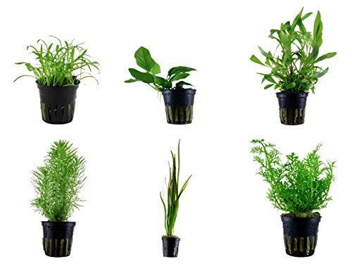 Tropica Einsteiger Set mit 6 einfachen Topf Pflanzen Aquariumpflanzenset Nr.4 Wasserpflanzen Aquarium Aquariumpflanzen
