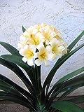 Virtue Veri bulbi di clivia, piante di clivia, bulbi di fiori bonsai, (non semi di clivia), fiori perenni in vaso Radice bulbosa - 20 pezzi 11