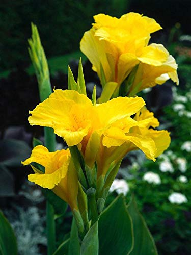 Nouveau est arrivé! 10 pcs/sac graines Canna décoration herbes vivaces en pot Maison et jardin 95% fleur plante bonsaï taux de germination 2
