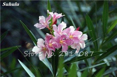 Hot 100 Pcs vivaces fleurs Phlox Graines exotiques Bonsai Graines de fleurs Belle couleur multi fleurs Plante en pot Diy jardin 7