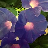 "Ipomea indica ""Blue Morning Glory"" (Semente)"