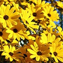 Best swamp sunflower helianthus angustifolius Reviews