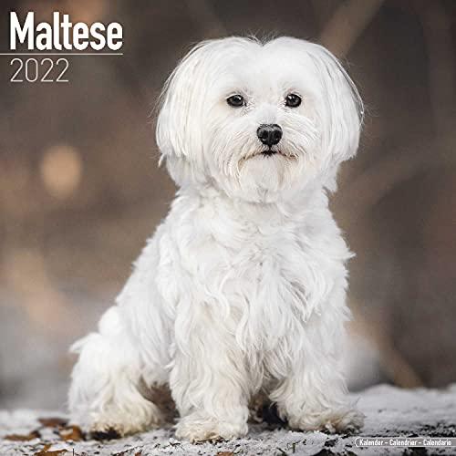 Maltese - Malteser 2022 - 16-Monatskalender: Original Avonside-Kalender [Mehrsprachig] [Kalender] (Wall-Kalender)