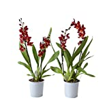 Orquídeas de Botanicly – 2 × Cambria Burrageara Red Ruby – Altura: 50 cm, 2...