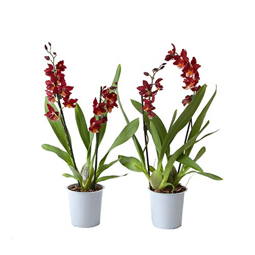 Orquídeas de Botanicly – 2 × Cambria Burrageara Red Ruby – Altura: 50 cm, 2 brotes