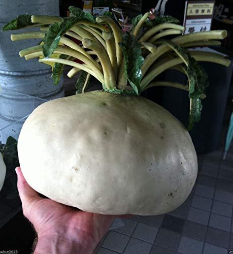 """GEOPONICS Sakurajima Mam SEEDS â € """"größten in der Welt, asiatisches Gemüse"""