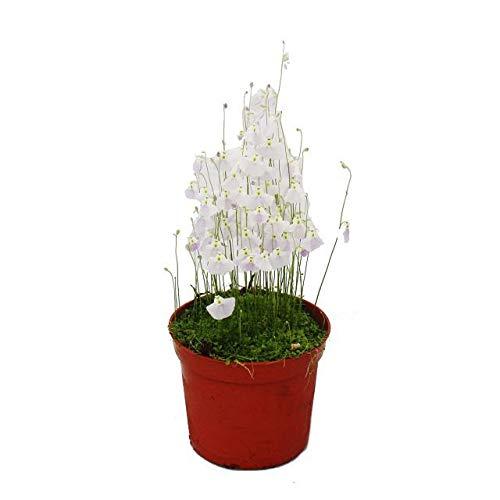 Exotenherz - Fleischfressende Pflanze - Wasserschlauch - Utricularia - 9cm Topf - Rarität