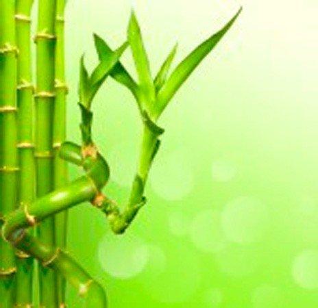 Caña de bambú espiral (30 cm) – Planta viva de interior