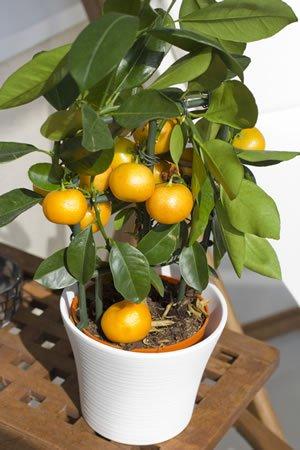 Mandarinenbaum / 15 Samen/Saftige Frucht/Vitaminreich