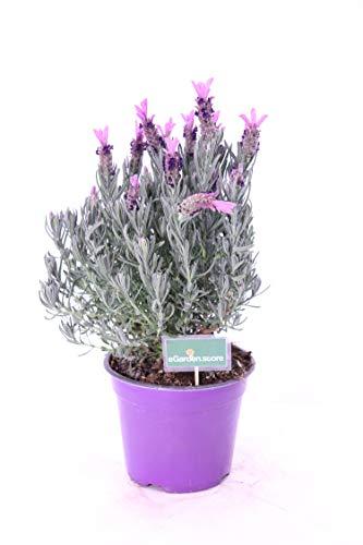 pianta di Lavanda Stoechas o Lavanda Selvatica vaso14 pianta da esterno pianta da fiore venduto da eGarden.store