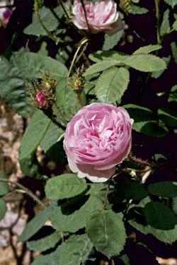 Rosa centifolia muscosa, Historische Moosrose in A-Qualität Wurzelware