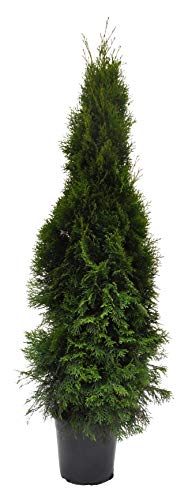 Thuja occidentalis Smaragd 120cm Lebensbaum im Topf gewachsen