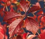 Blumen Senf wilder Wein (Sorte: Parthenocissus quinquefolia 'Engelmannii' Selbstklimmender Mauerwein) -