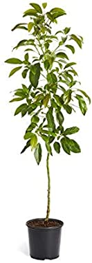 Live HASS Avocado Tree, 3-4 Ft. Exotic, Delicious & Climate-Resilient | from a 5 Gallon Pot