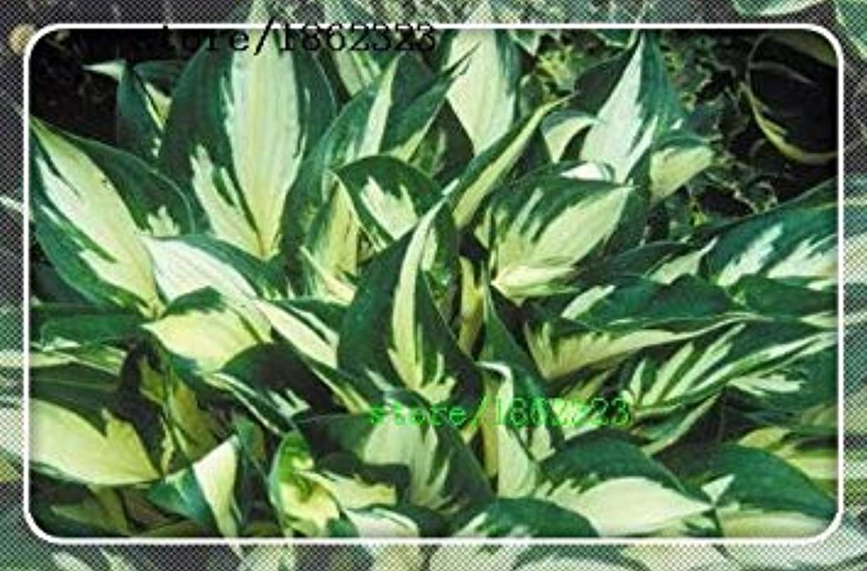 貴重な征服海岸SEEDSのPLAT会社-2016 Sementes花の種子50個ギボウシの種子と影多年生植物オオバコ花盆栽ホームガーデングランドカバー計画