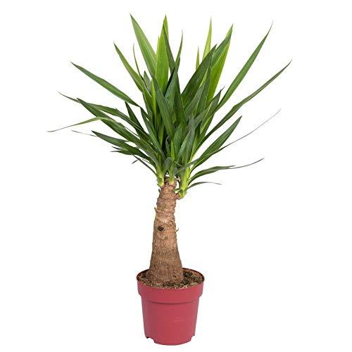 Pflanzen Kölle Palmlilie 'Yucca elephantipes Maya Tree', Höhe ca. 90 cm, Topf 21 cm