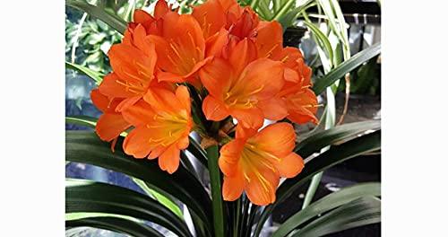 "6"" clivia/clivia miniate/Bush Lily/Natal Lily, 12 Leaves – Foliage Plants/Flowering Plants 68659"