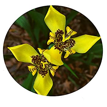 yellow walking iris