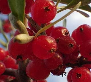 Best goumi berry bush Reviews