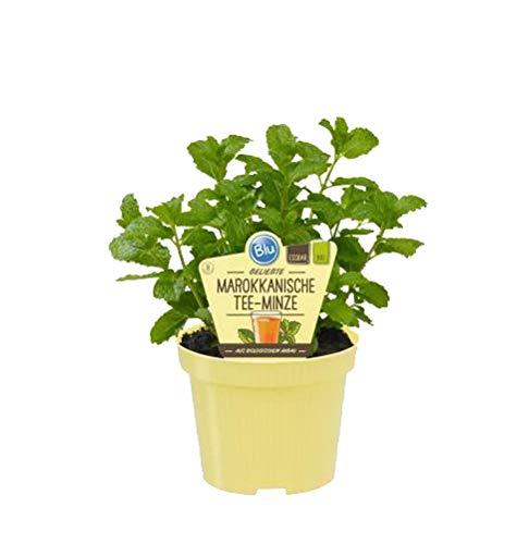Bio Minze Marokkanische Tee-Minze (Mentha spicata), Kräuter Pflanzen aus nachhaltigem Anbau, (1 Pflanze)