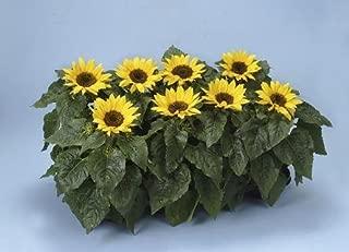 Helianthus (Sunflower) Choco sun 100 seeds
