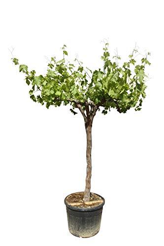 Weinrebe - Vitis Vinifera - 270cm - Weintraube- Knorrige alte weinstock - Stammumfang 20/30cm