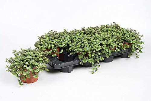 Zoo-Papp 3X Callisia repens Futterpflanze für für Nagetiere, Vögel, Reptilien und andere Exoten ie Töpfe sind aus recyceltem Kunststoff