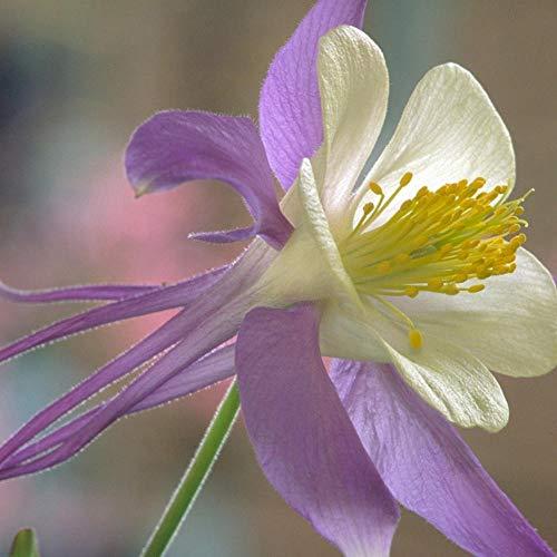 Kräuterblumenkern Kleine Blume Columbine Samen Gartenblume 300 Kapseln