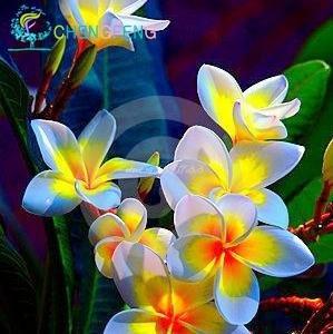 50pcs / bag Plumeria (Frangipani, Lei hawaiano de flores) Semillas de flor exótica raras semillas de flor de huevo