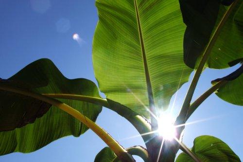 Seedeo Darjeeling-Banane (Musa sikkimensis) 10 Samen