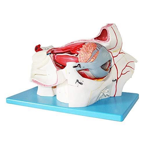 Modelo de Anatomía del Ojo, Incluyendo La Órbita, La Pared del Globo Ocular, La Esclera, La Coroides y La Retina, el Cuerpo Vítreo, Los Músculos Extraoculares, La Pared Orbital y el Cornete