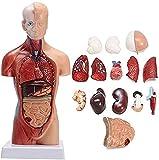 Modelo Cuerpo Humano Anatómico 15 Habitaciones de anatomía Cuerpo Humano Torso Modelo órganos internos Enseñanza médico Educación para niños 0518