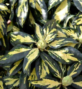 Großblumige Rhododendron Blattgold 30-40cm - Alpenrose