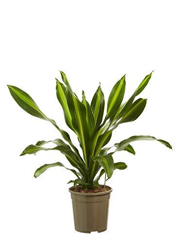 Plante d'intérieur de Botanicly – Dragonnier – Hauteur: 100 cm – Dracaena fragr. Burley
