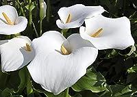 庭を植えるカイガイ球根,繊細で美しい花びら,多年草オランダカイウは結婚によく使われる花です,適応性強い,馬蹄蓮の球根,観賞用花,盆栽電球,庭の球根-5球根,1