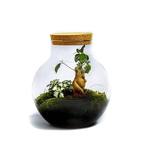 DIY Giardino in bottiglia Sostenibile da Botanicly: Bolder – Ficus ginseng (Altezza: ca. 30 cm, Larghezza: ca. 18 cm)