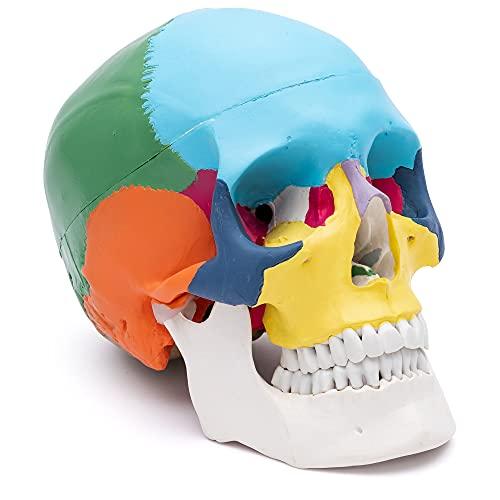 S24.2134 - Craneo humano didáctica, coloreado, 3 piezas