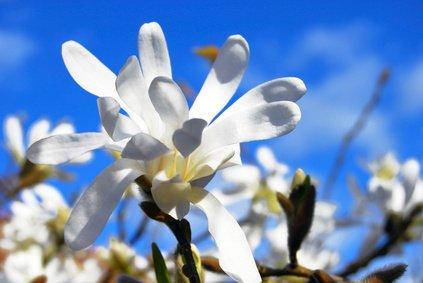 Magnolie Magnolia stellata STERNMAGNOLIE...