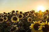 Desconocido Sunset Flower Field Puzzle de Madera de 1000 Piezas